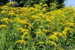 Golden rod signals the start of allergy season for some.