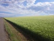 montana-wheat